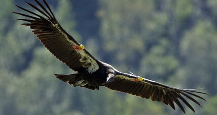 Condors threatened by 'epidemic' lead poisoning from hunters' bullets