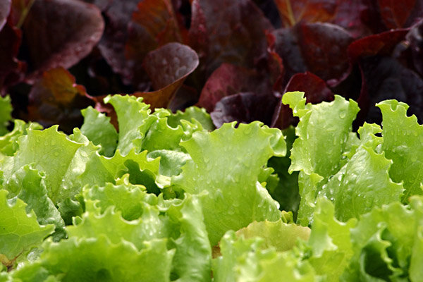 Flats Of Green Leaf And Red Lettuce Plants Are Shown In Sutton Mass This File Photo The Dole Salad Recall 2017 Includes Bagged Sold At