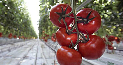Tomato's taste: the secret is in its genome