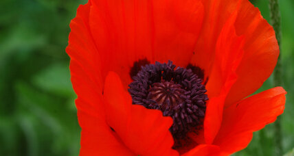 Oriental poppies: Glamour girls of the garden
