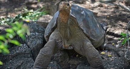 Galapagos giant tortoise Lonesome George dies after not so lonely life