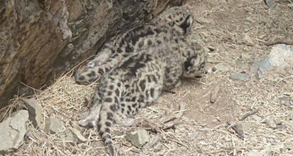 First-ever video of snow leopard moms and cubs in Mongolia