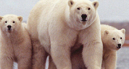 Polar bears, brown bears interbred during warm periods. Is it happening again? (+video)