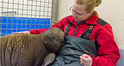 Stranded walrus calf in Alaska lagoon is safe
