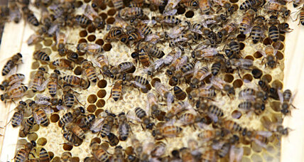 Are bees able to rejuvenate their brains?