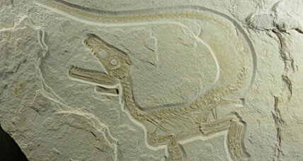 Did all predatory dinosaurs have feathers? (+video)