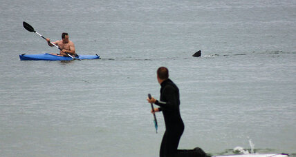 Great white shark sightings up on East and West Coasts: What are they after? (+video)