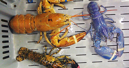 Odd-colored lobsters baffle scientists, fisherman