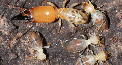 Exploding termites: Aging termites become suicide bombers, finds study (+video)