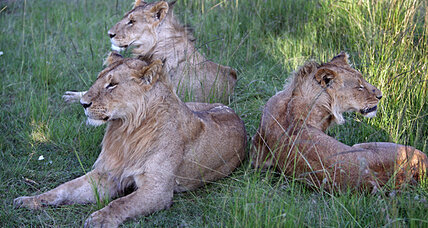 Lions in Nairobi? A new suburban problem