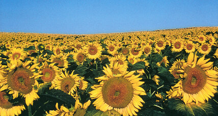 Sunflowers' promise of hope and unity