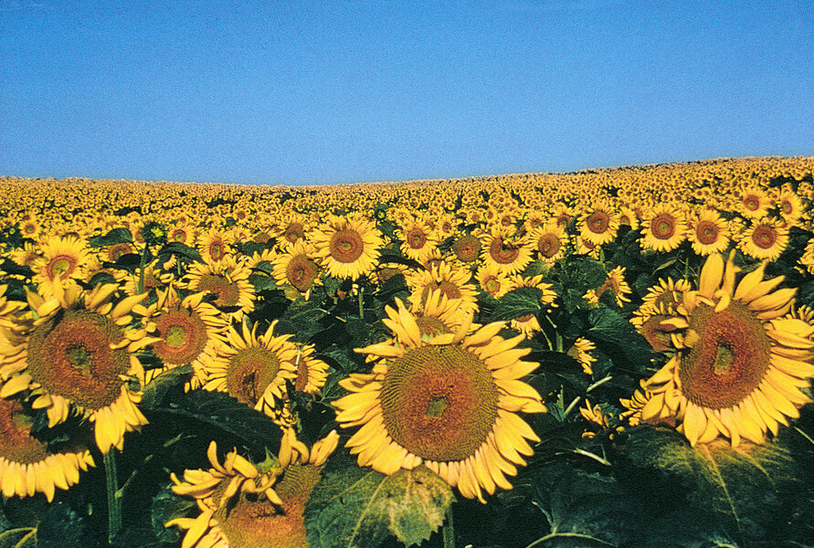 Sunflowers Promise Of Hope And Unity Csmonitor