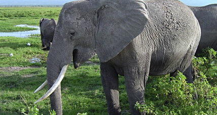 How do elephants make such low sounds? At last, scientists figure it out.