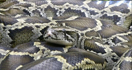 Giant Burmese python discovered in Florida