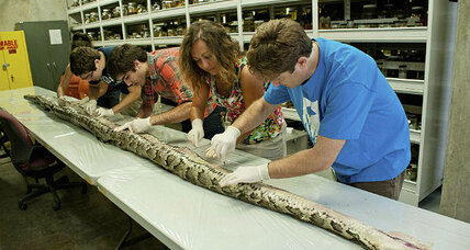 Giant python sets records in Florida
