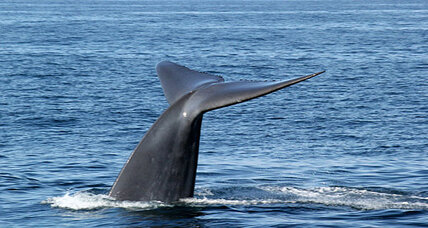 Blue whales, whale watchers flocking to California coast (+video)