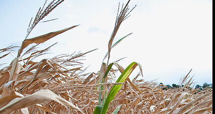 Rain breaks Midwest dought: Too late for corn, soybean crops?
