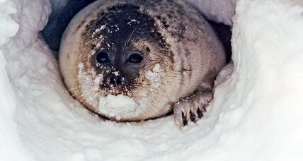 Melting Arctic snow threatens to leave seals out in the cold