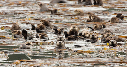 Sea otters: Surprising global warming warriors have effect on CO2 levels