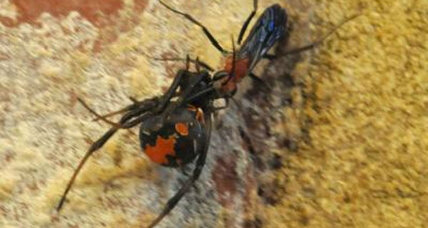 Tiny wasps snack on deadly spiders