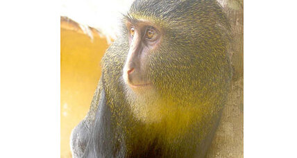 New, azure-buttocked monkey species discovered in Congo