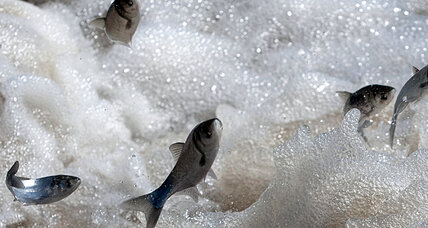 Asian carp policy: Is it keeping Obama and Romney up at night?