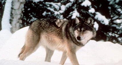 Open season: Will rebounding Wyoming wolves thrive without US protection?