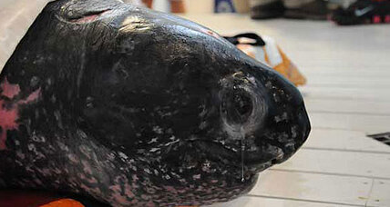 Giant 655-pound leatherback turtle rescued and released