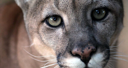 Go west, young mountain lion: California offers lush habitat, easy prey