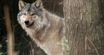 Wolf hunting returns to Wisconsin: But how humane will it be?