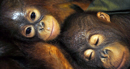 Critically endangered orangutans depend on unprotected forest corridor
