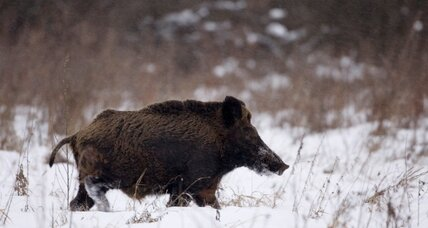 Wild boar attacks four people in Berlin