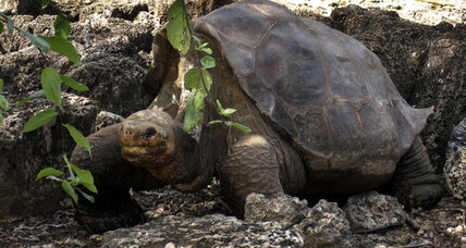 Galapagos Tortoise 'Lonesome George' may have had relatives after all