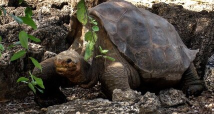 Galapagos tortoise: a resurrection from extinction?