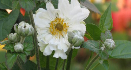 Fall-blooming anemones