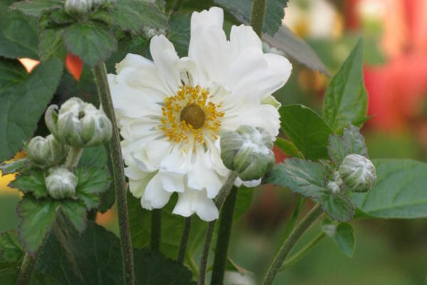 Fall blooming anemones csmonitor the tall anemone named whirlwind is an exquisite old favorite of mine it bears clouds of furry round buds that open into double pure white flowers in mightylinksfo Image collections