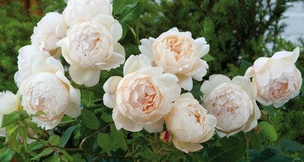 New roses from David Austin for 2013