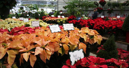 How much do you know about poinsettias?