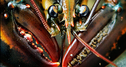 How old is a lobster? Check his eyestalk