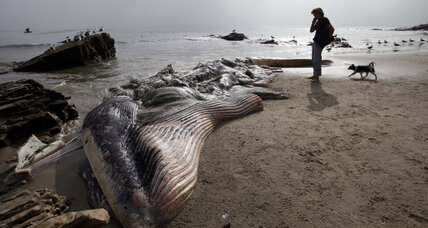Whale carcass towed back to sea in Malibu