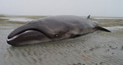 'Extinct' whale found: Odd-looking pygmy whale traced back 2 million years
