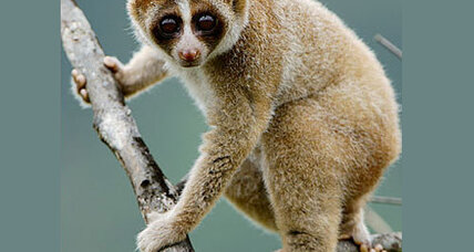 Newly discovered loris may be slow, but its bite is toxic
