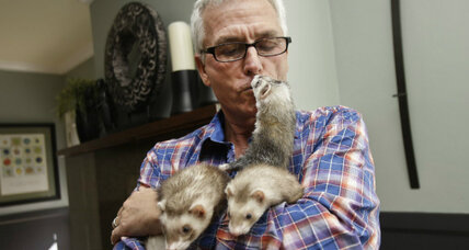 The ferret: Pet or pest?