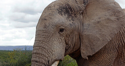 Tanzania withdraws bid to sell 'legal ivory;' Kenyan poachers kill 12 elephants (+video)