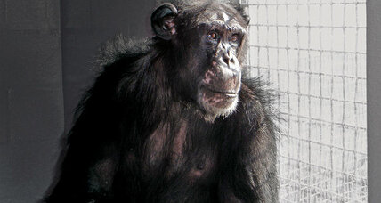 NIH should retire most chimpanzees from medical research, panel says (+video)
