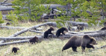 "Escaped grizzly cub: How did ""Booboo"" escape?"