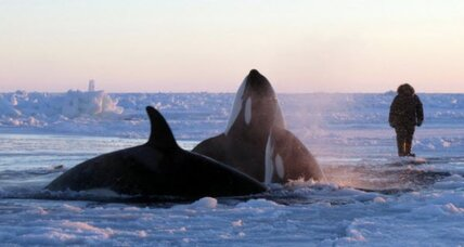 Trapped killer whales freed by shifting ice?