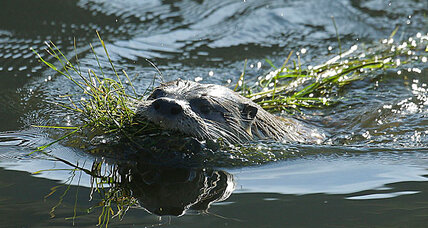 Rare river otter returns to San Francisco – a sign of progress?