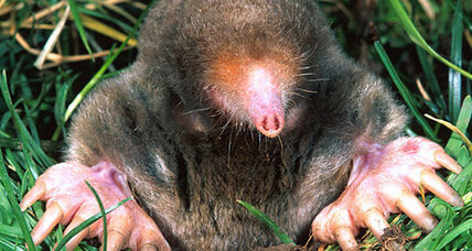 Study: Moles can smell in stereo, still can't see anything