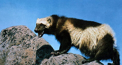 Threatened by global warming, wolverines could be listed as endangered